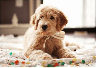Dog Attire
